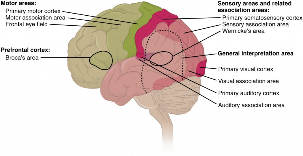 Parts of the brain that are stimulated when listening to a story.